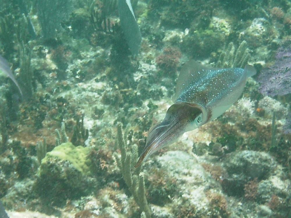 squid in the sea