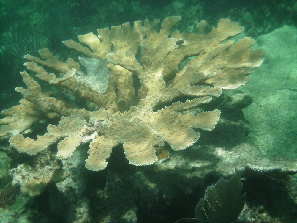 coral reef mesoamerican