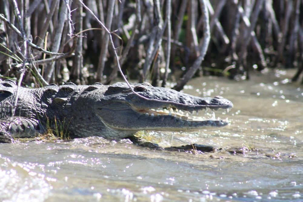 AMerican Crocodile sunning in Quintana Roo Mexico
