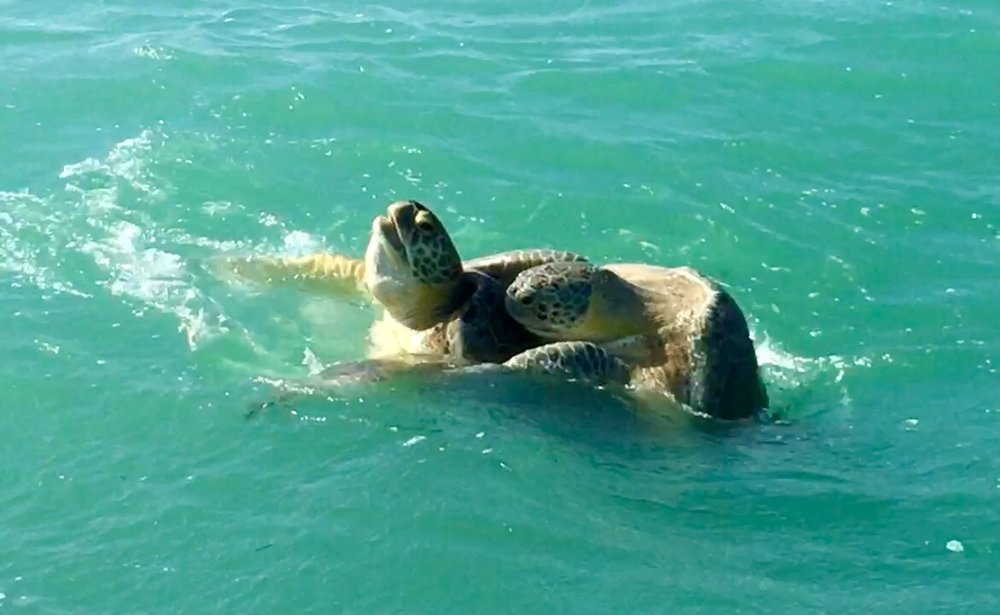 Green Sea Turtle Mexico