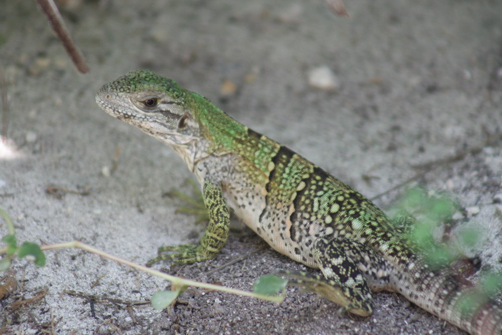 Baby Spiny Tailed Iguana