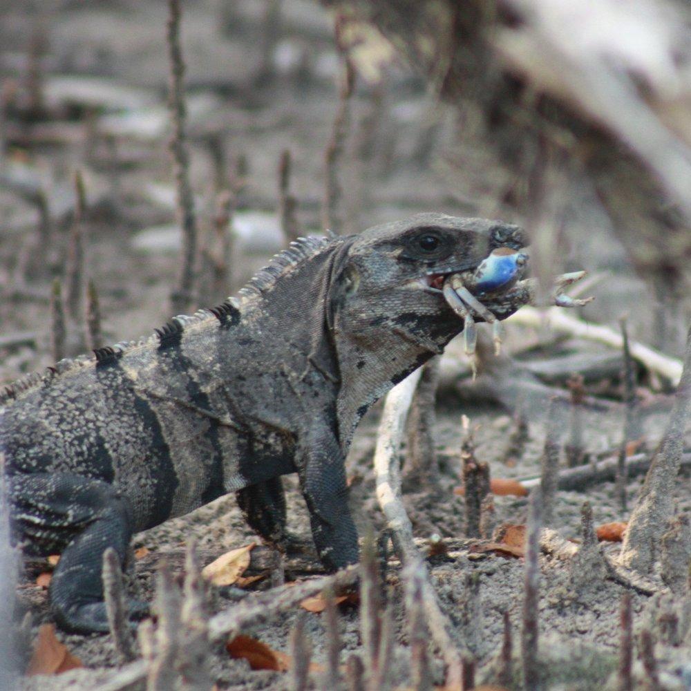 Spiny Tailed Iguana Caribbean