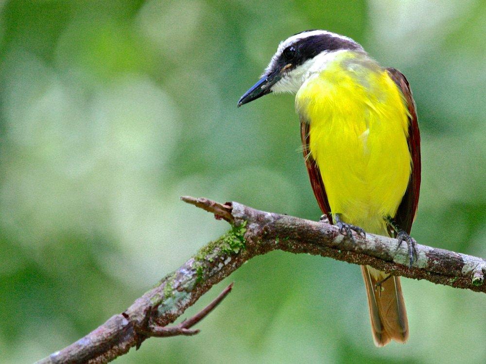 Birding in Tulum Mexico