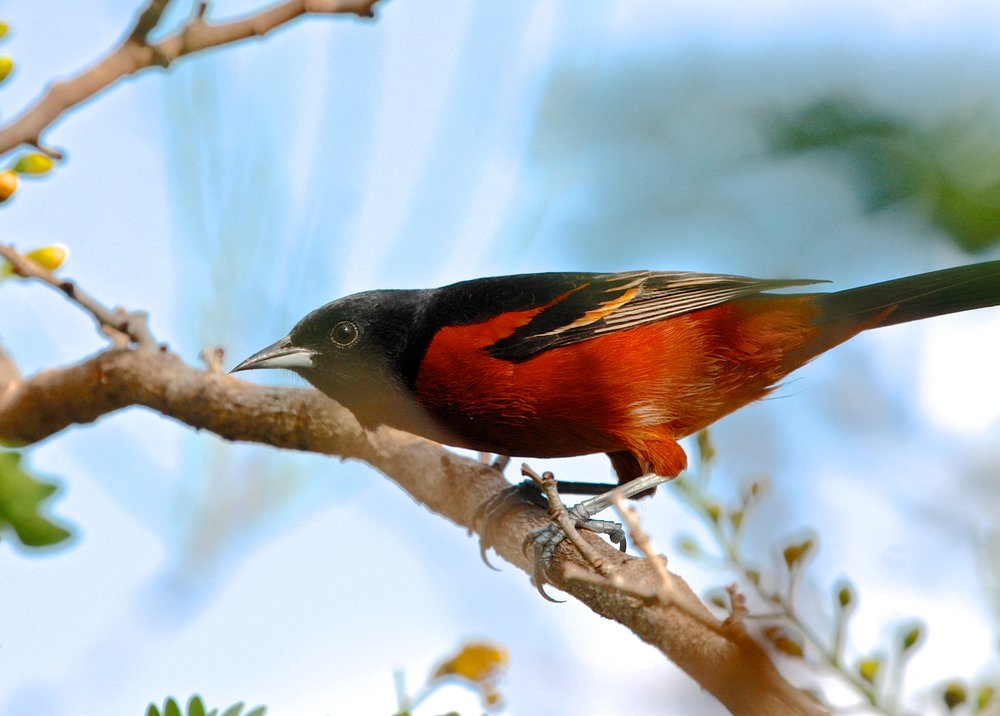 Red bird in Mexico