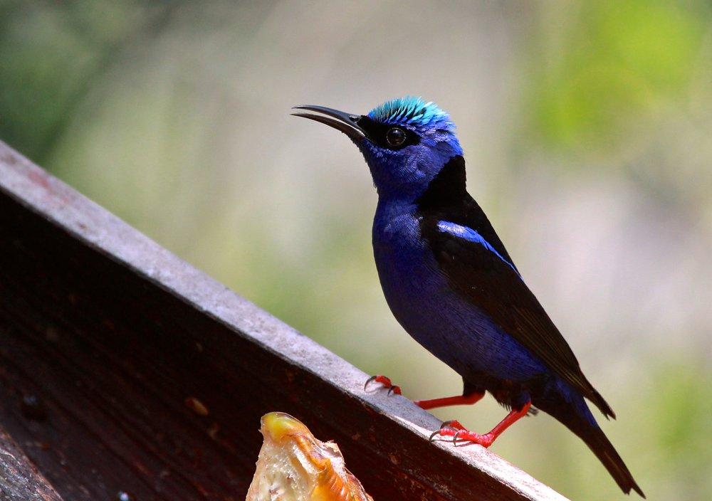 Blue Birds of Mexico