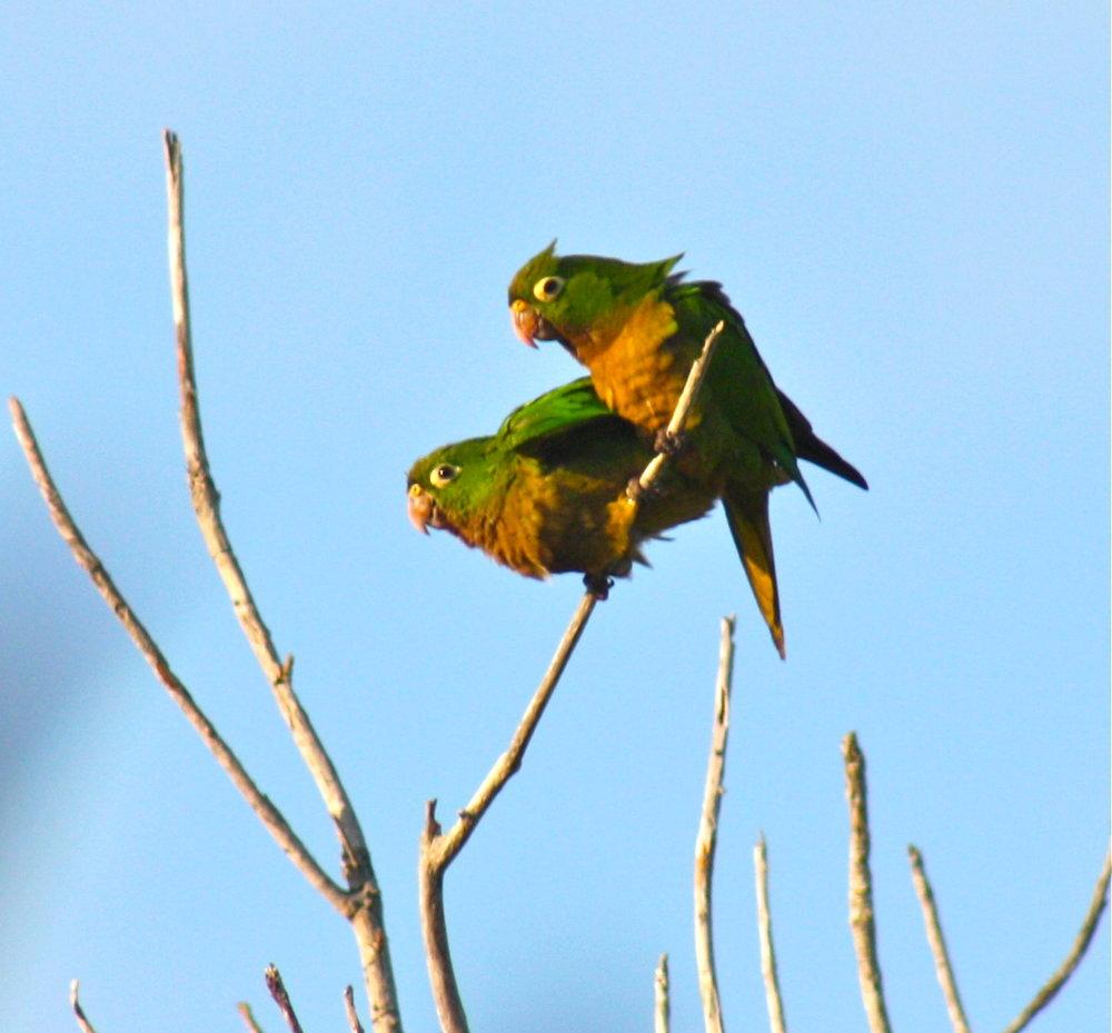 Parrots in Tulum Mexico