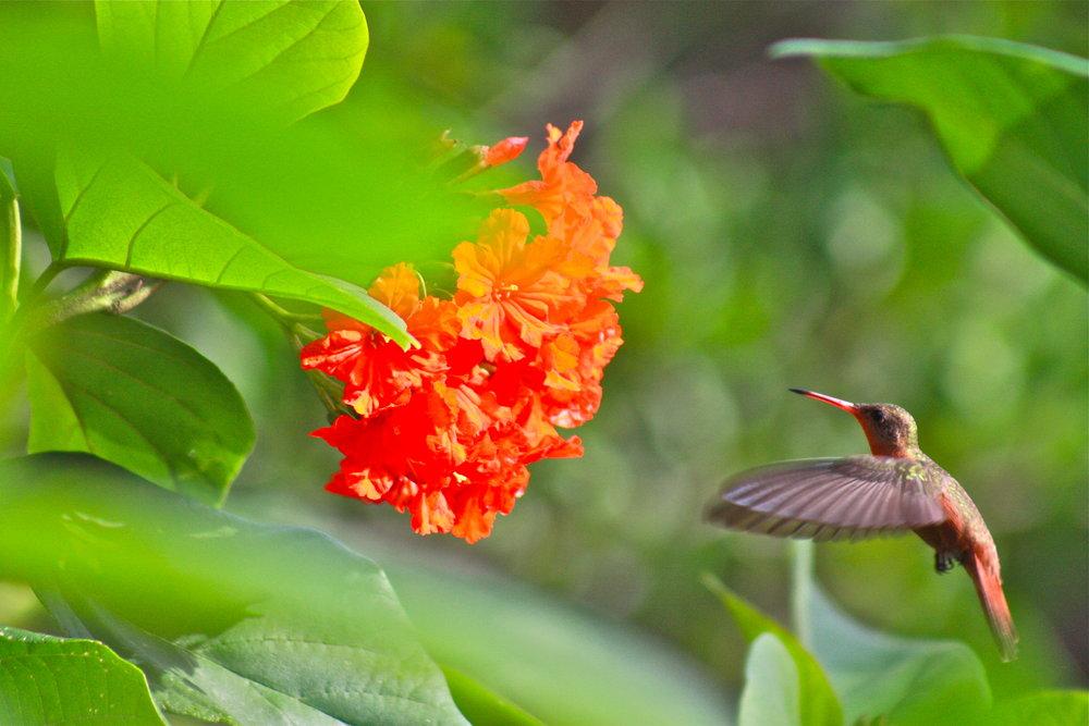 Hummingbirds Quintana Roo Mexico