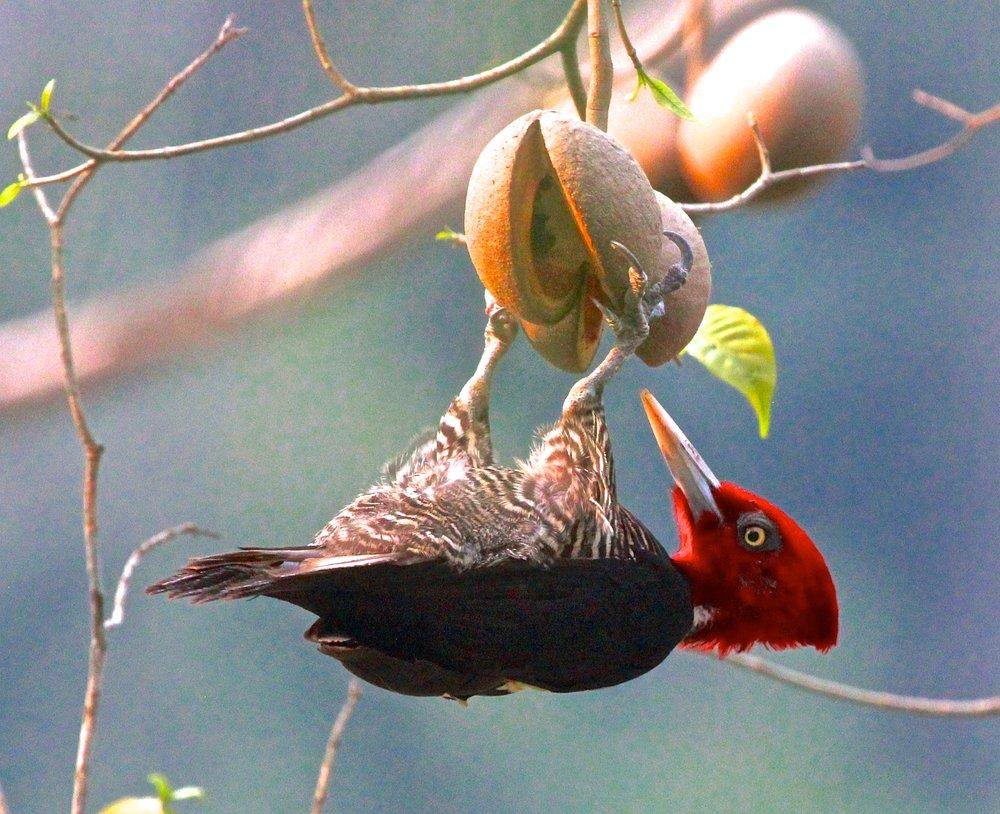 Woodpecker eating fruit