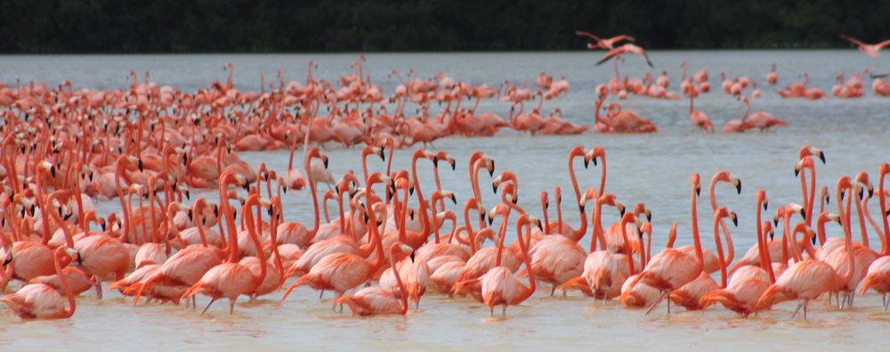 Flamingos Yucatan Peninsula