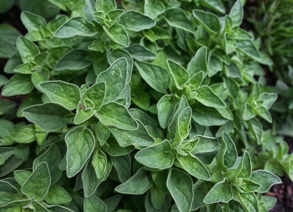 fair to table hers Greek Oregano