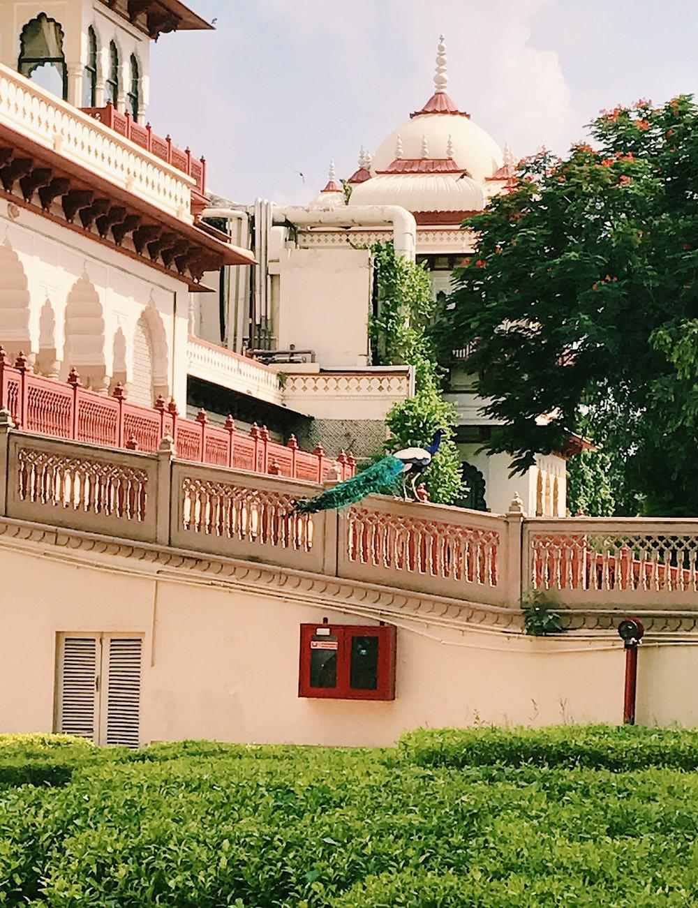 Chasing Peacocks at Taj Rambaugh Palace