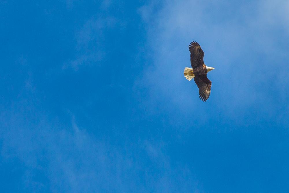 Eagle in Flight, Palmer, Alaska, USA