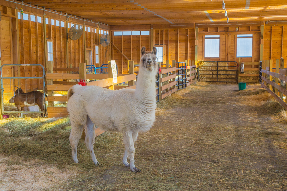 Dolly the Llama welcomed me to the goat barn