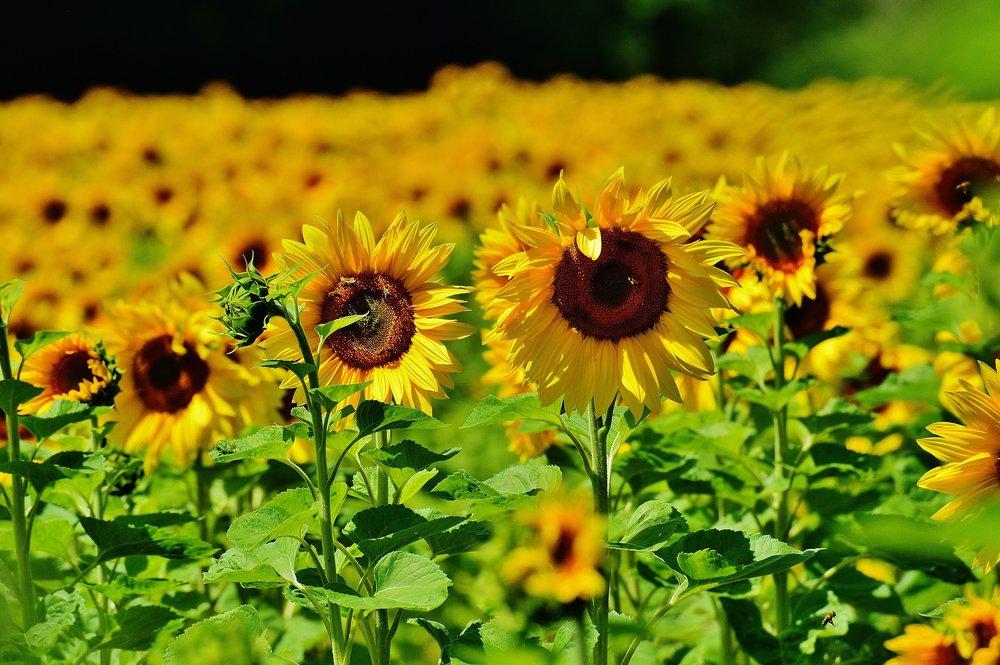 sunflower-1533697_1920.jpg