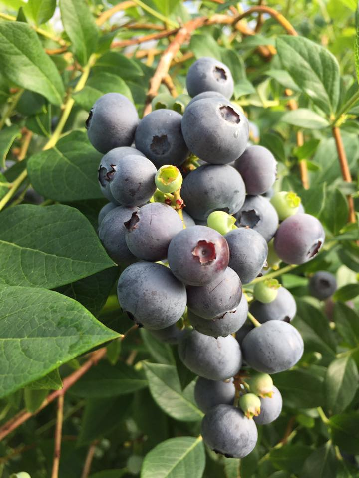 Blueberries hanging on bush (002).jpg