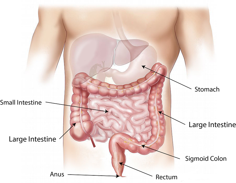 digestive-system-diargram.jpeg