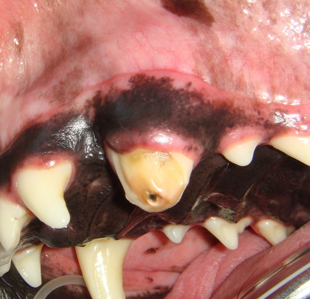 fundamentals in small animal dentistry for the veterinarian