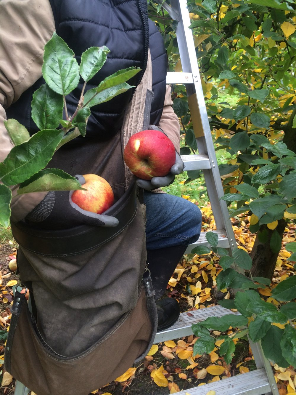 It's Apple Harvest Time In Fortuna! -