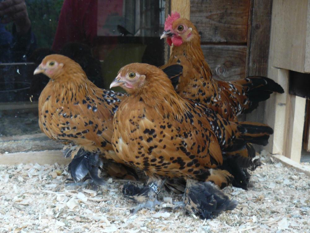 Federfüßige Zwerghühner, porzellanfarbig