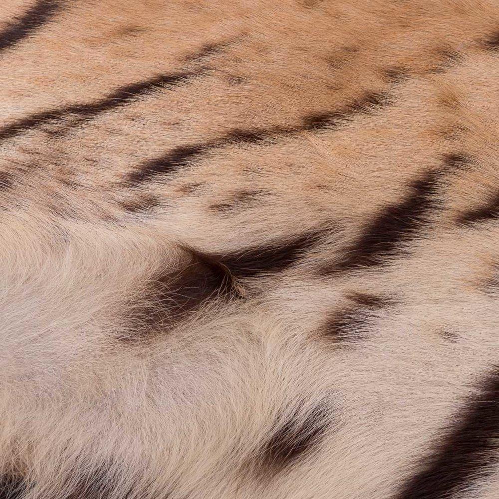 Mint Condition Tiger Skin Rug By Van Ingen, Mysore, Circa 1936