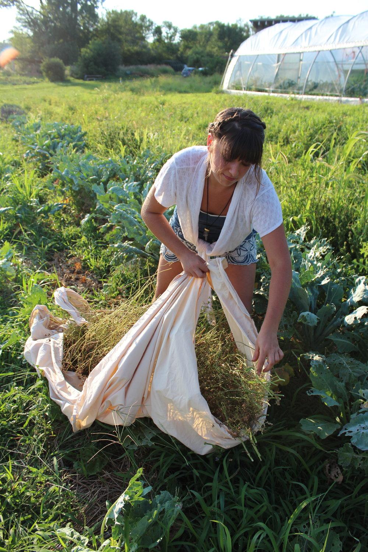 Harvesting arugula seed