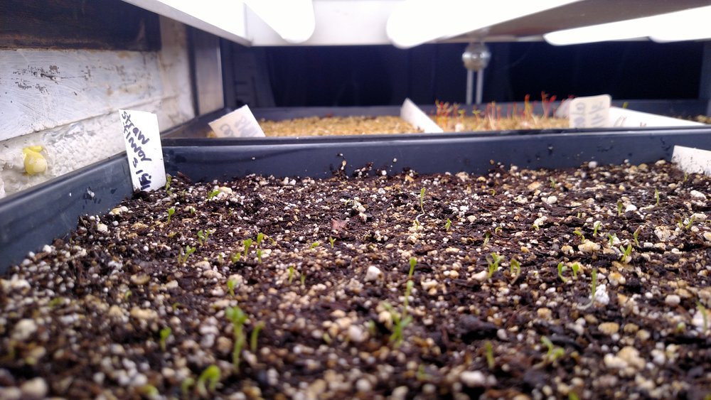 Sprouting Strawflower