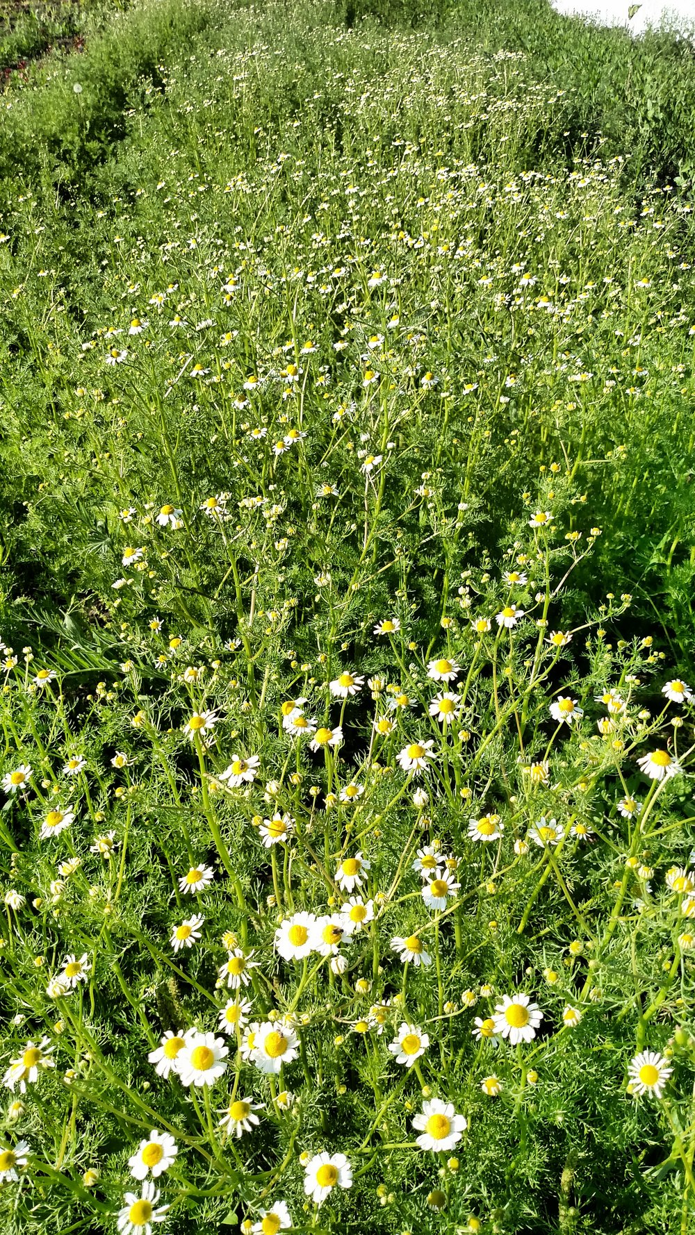 Our field of chamomile at Prairie Pines