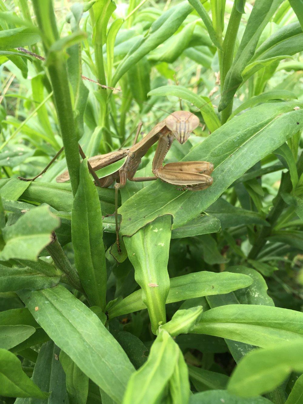 Praying Mantis, protector of the Strawflower.