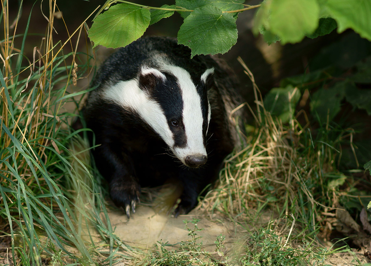 badger-sett