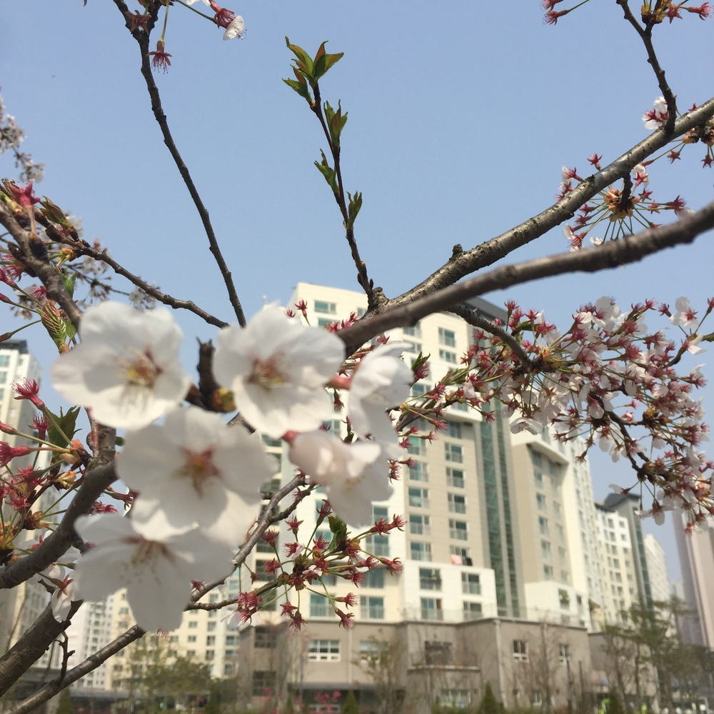 Cherry Blossoms in Sejong City