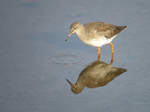 Redshank (Chris Park)