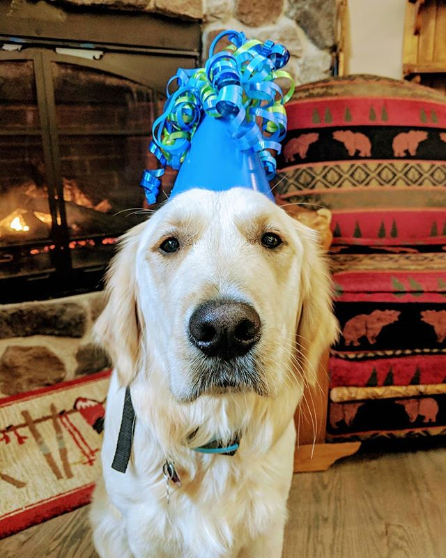 It's Monty's 1st Birthday today! 🐾🥳🎈🎉🎂🎁🕯️🧁 (He's not sure how he feels about the party hat but he did like the pocket full of treats he got 😂) #hesabigboynow #firstbirthday #birthdayboy #bosspuppy #bigpawstofill