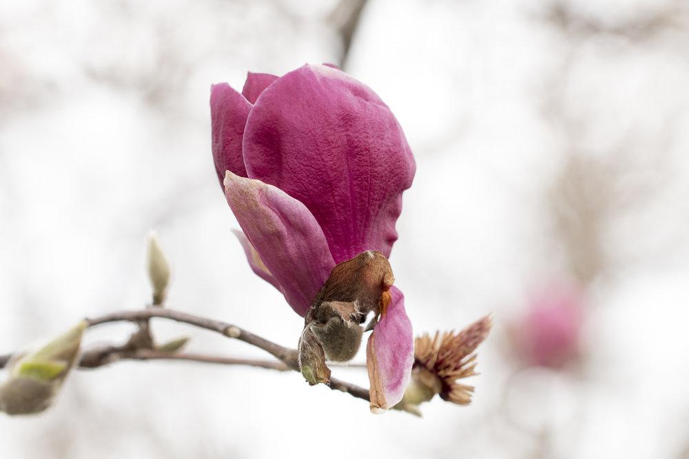 011717magnolia blossom deep pink.jpg