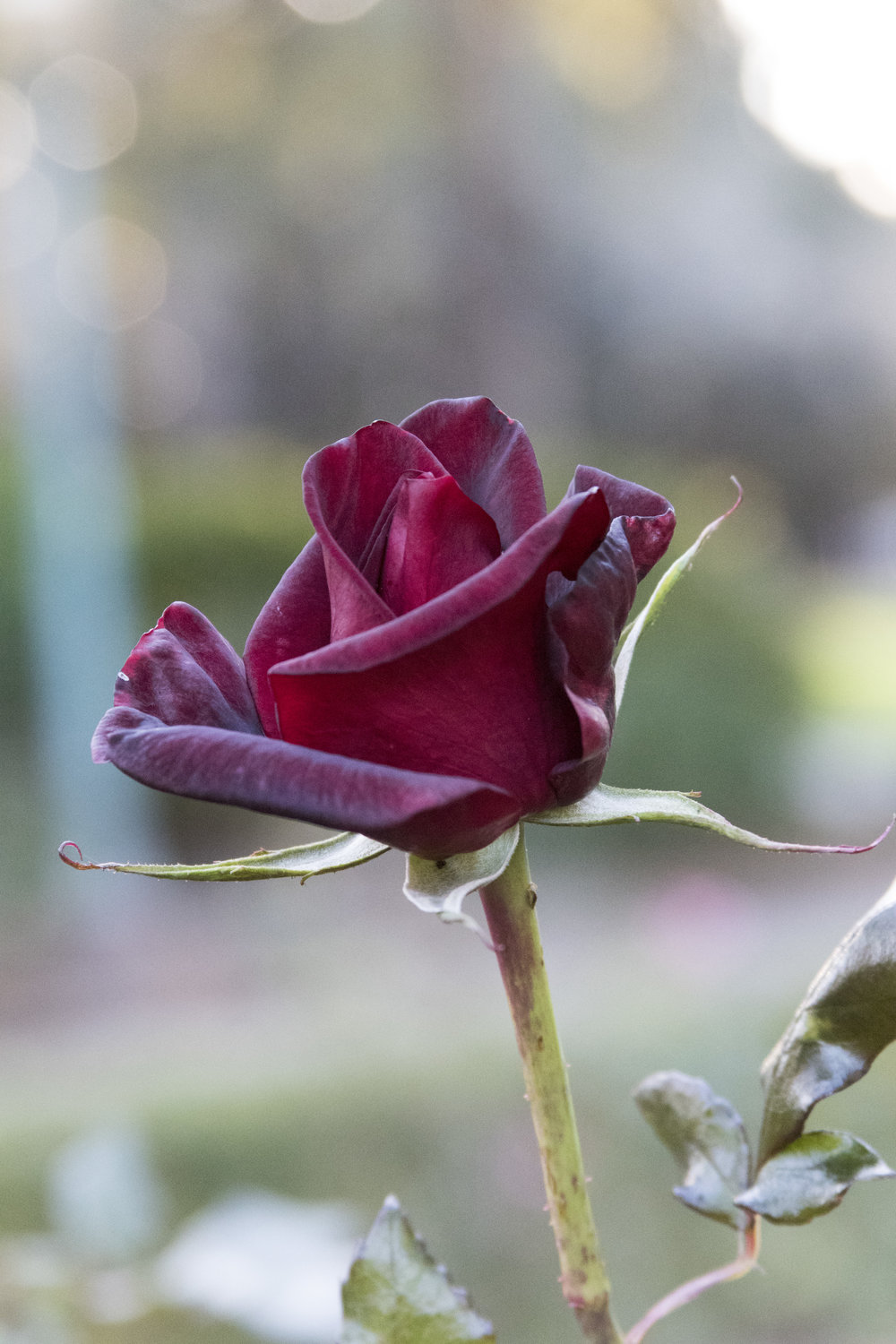 121816-deep red rose backlight.jpg