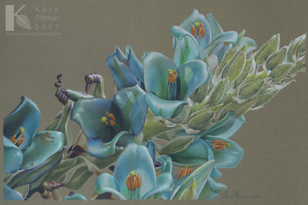 "Blue Puya, colored pencil on pastel paper, 8 x 12"", July 2017"