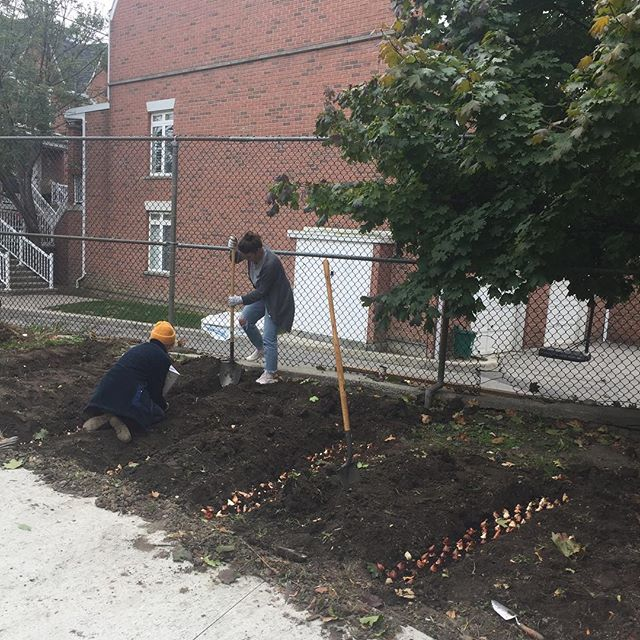 Had the best of fall afternoons planting bulbs for CAMH's Sunshine Garden today! Note the bulbs arranged in the form of a 🌞 in photo 2 ;)