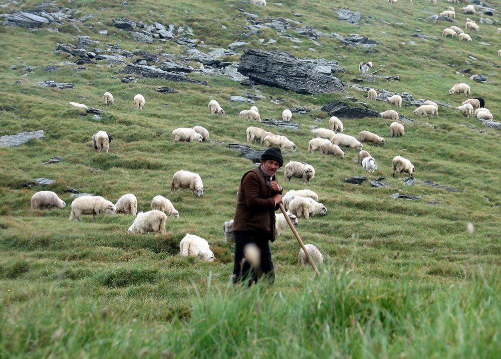 Shepherd with sheep.jpg