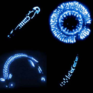 Bioluminescence for everyone! Clockwise from the top: the underside of a hatchetfish, warning display of a jelly, a lanternfish, and a dragon fish (Photo from Johnsen Lab at Duke)