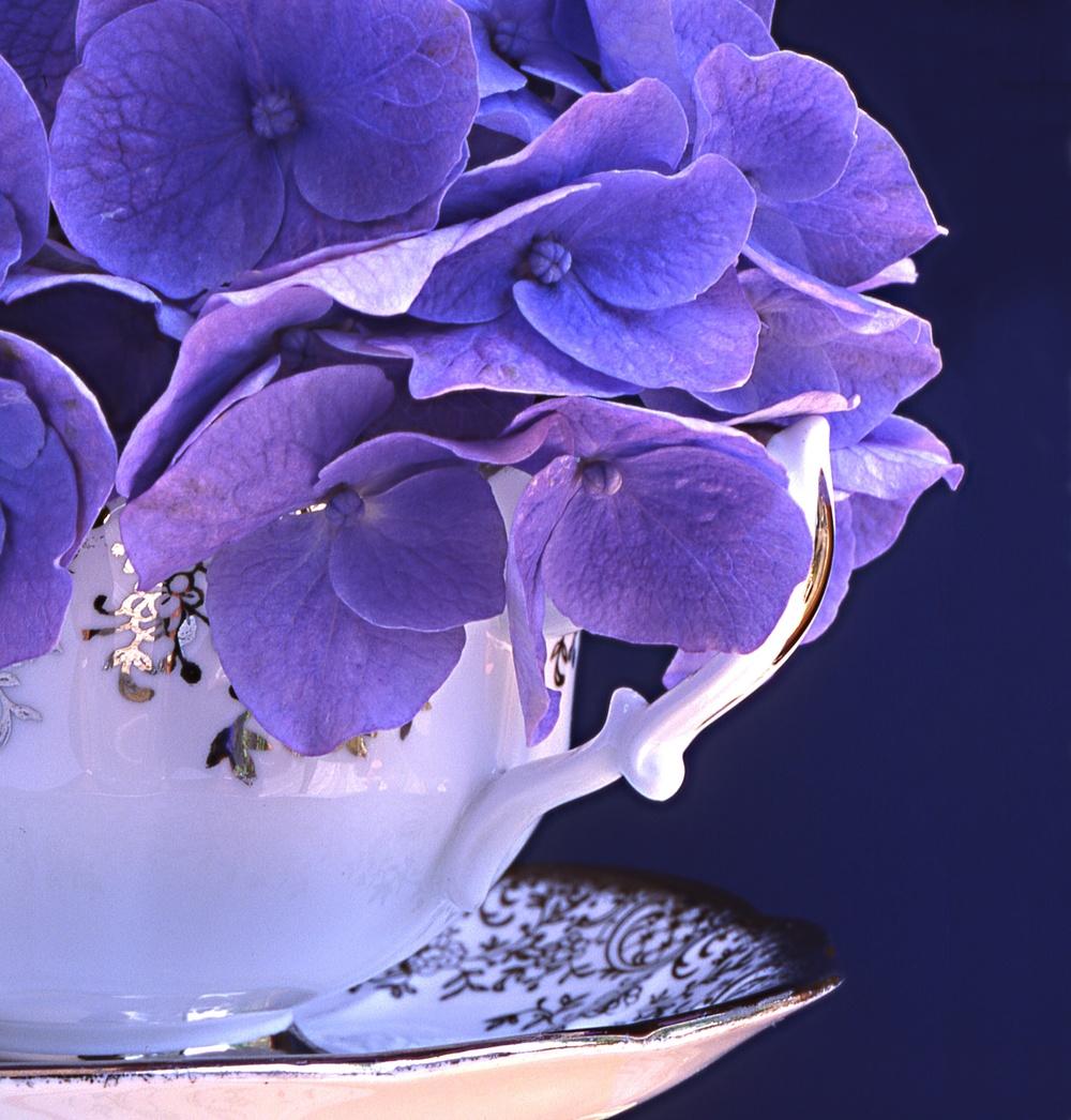 bluehyd-silvcup.jpg