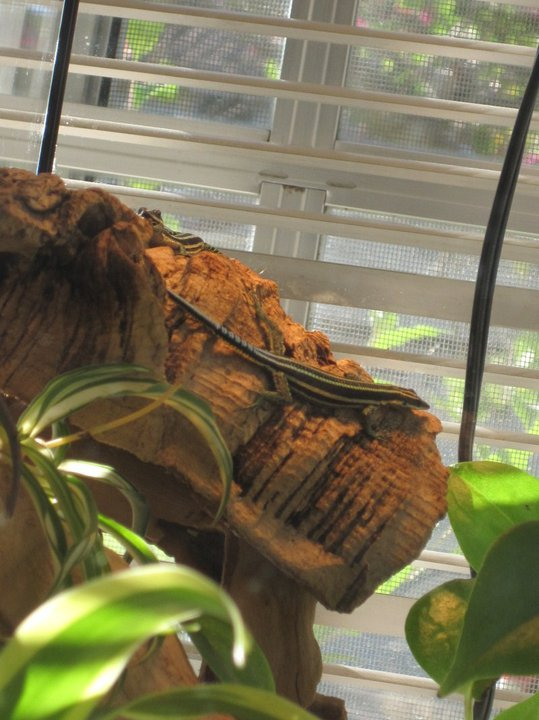 One of my gliding lizards - it was years ago that I had them, so forgive me the lack of high quality pictures!