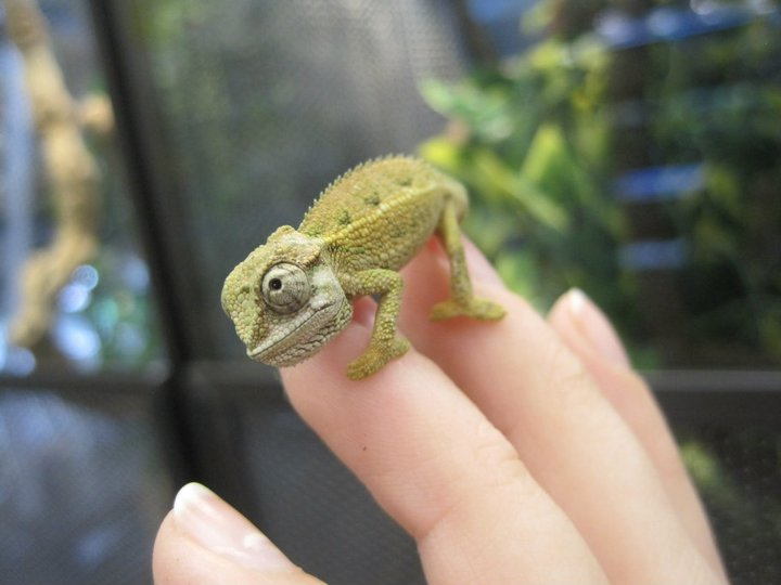 A lot of research and very cautious experimentation was needed to find the correct range of conditions these captive born baby Rudis Chameleons would thrive at.
