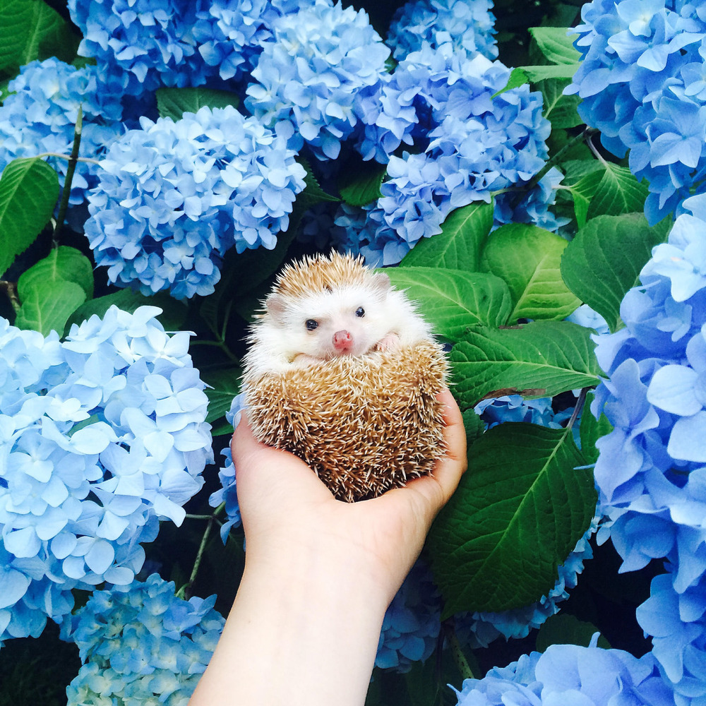 Consider This When Getting Your Adorable Pet Hedgehog