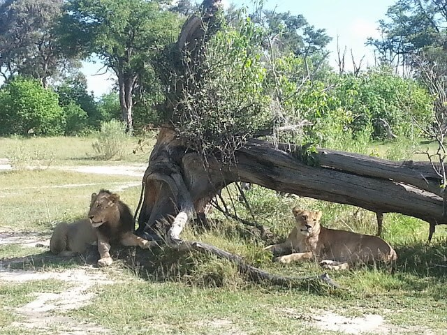 Our first lion sighting was Tomohawk and one of his ladies.