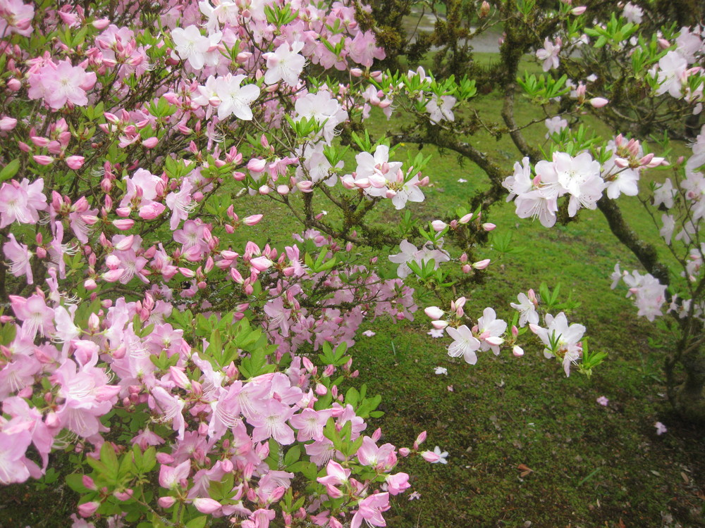 Royal Azaela in Seattle Japanese Garden