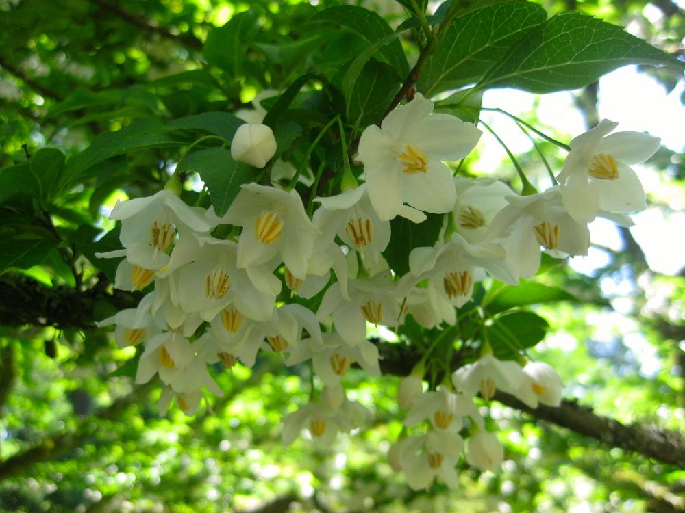 Styrax Japanese Snowbell Trees in Seattle Japanese Garden