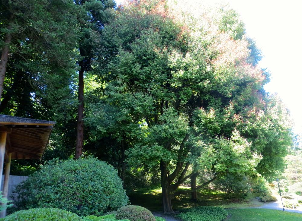 Water Lilies in Seattle Japanese Garden