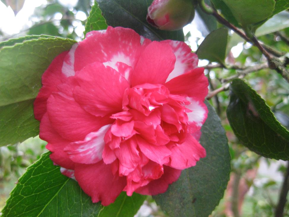 Camellia Japonica 'Daikagura'