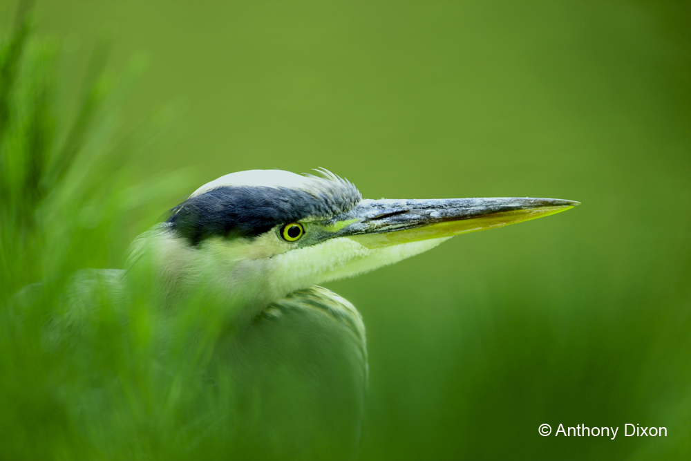 Heron in Green