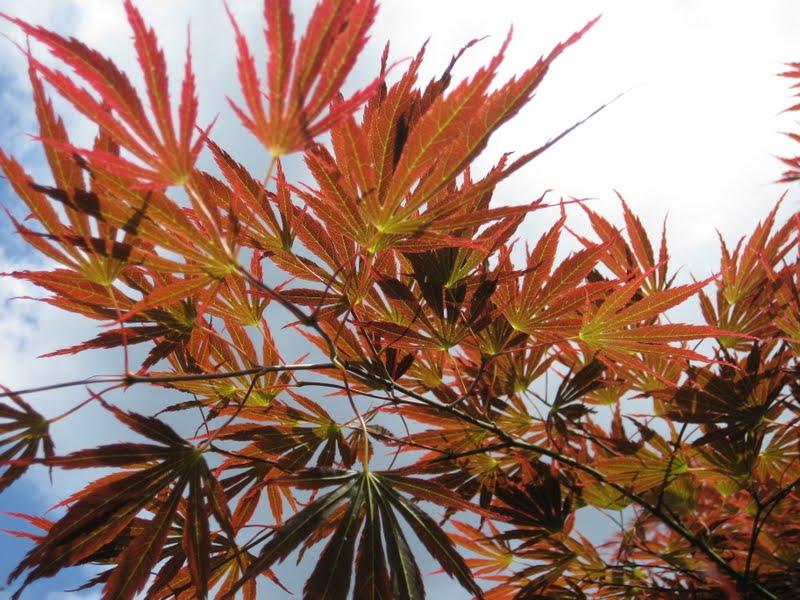 The striking foliage shapes lends to its uproar of a name. Acer palmatum 'Inazuma', The Thunderer. Photo: Aleks Monk.