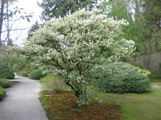 Spring-blooming Osmanthus x burkwodii – Area D (Photos by Aleks Monk, 4/1/13)